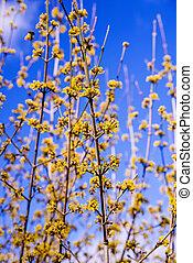 cornelian, cerise, fleur cornouiller, dans, printemps, dans, allemagne