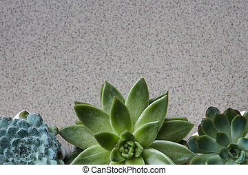 Corner frame from different plants Echeveria on a gray stone background