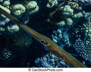 cornetfish between corals large view in the red sea