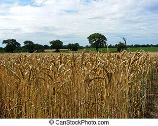 cornfield, 2