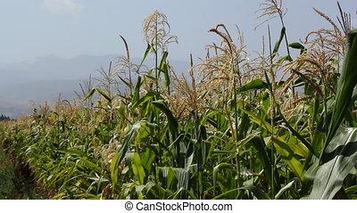 cornfield, 6