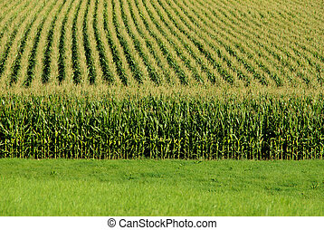 A close up view of a cornfield