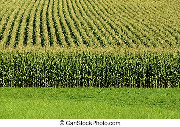 Cornfield - A close up view of a cornfield