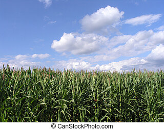 A green cornfield under a bright blue sky with puffy clouds.