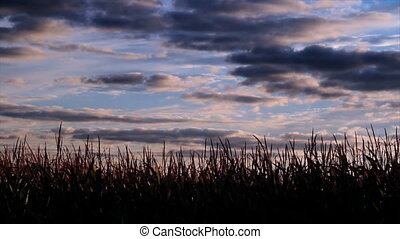 Cornfield and Clouds Timelapse - Time lapse clip with...