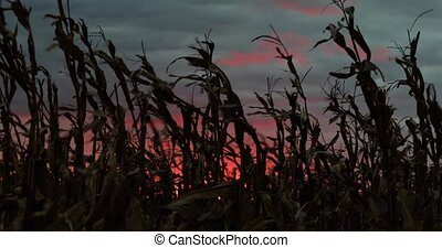 Cornfield and Colorful Sunset Loop - Cornstalks wave in the...