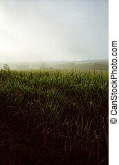 cornfield at dawn