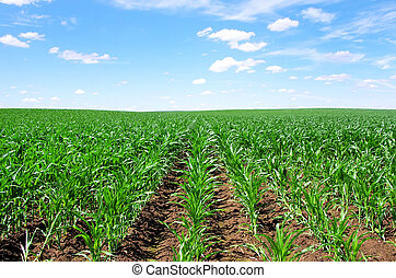 cornfield at south of Portugal