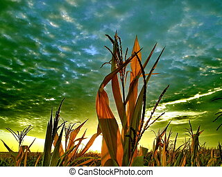 Cornfield at the dawn
