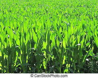 Cornfield - cornfield, corn plantation agricultural holding
