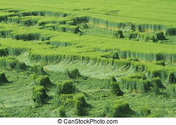 Cornfield Crop Failure