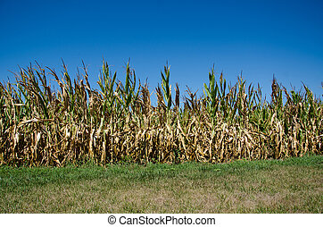 Cornfield damaged by drought - Cornfield in midwestern...
