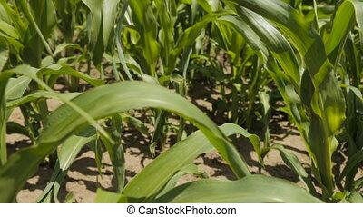 Cornfield, full hd video - Green leaves of corn, Slow Motion