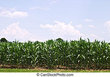 Green cornfield against blue skies.