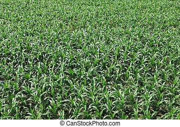 cornfield, groene, jonge