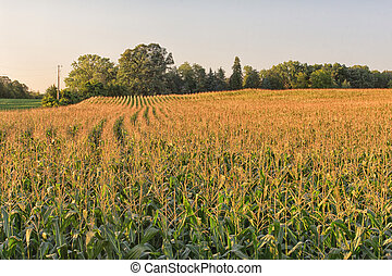 Cornfield in Golden Light