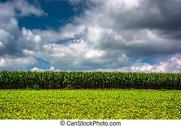 Cornfield in rural Carroll County, Maryland.