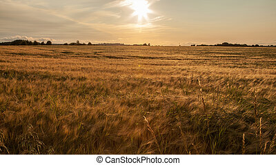 Cornfield in the sunlight