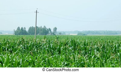 Cornfield. Large field of young corn. Countryside landscape....