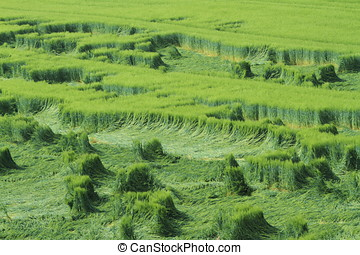 cornfield, oogst, mislukking