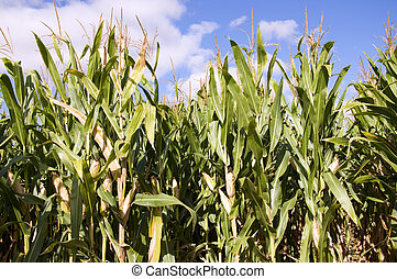 Cornfield next to be harvested at first of Autumn