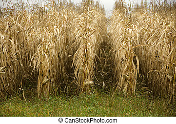 Cornfield Ready for Harvest - Cornfield in fall, fully...