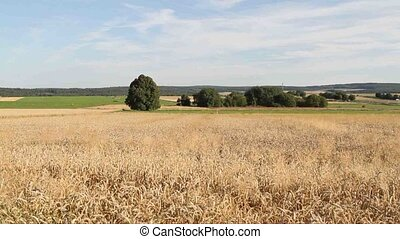 Cornfield - Ripe cornfields in the late summer