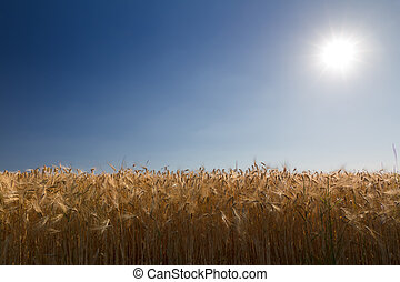 Cornfield (rye) with blue sky against the light in Pfalz,...