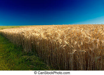Cornfield (rye) with deep blue sky in Pfalz, Germany
