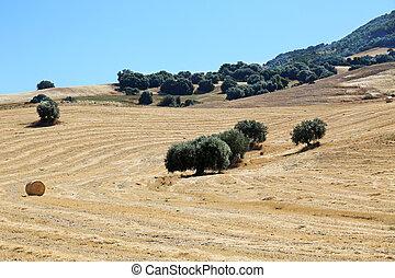 Cornfield Sicily Italy