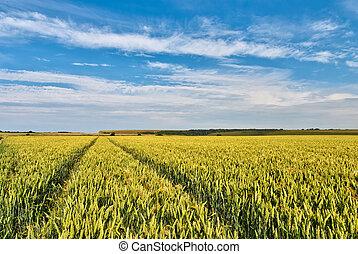 Cornfield - A ripe field of Wheat in Southern England