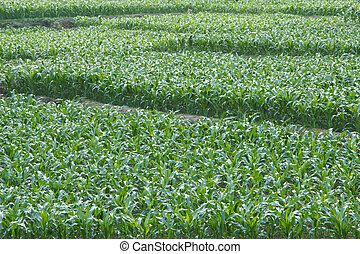 The growing of corn