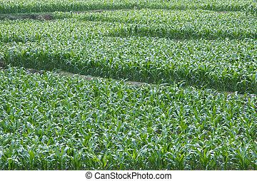 Cornfield  - The growing of corn
