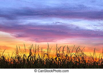cornfield, tramonto, silhouette