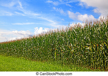 Cornfield under a blue sky with some clouds