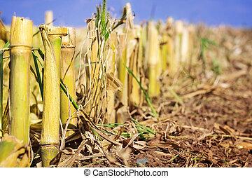 Cornfield, was harvested