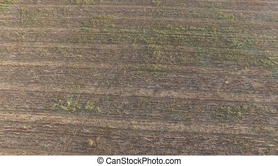 Cornfield with grass and ears of wheat after harvesting. Aerial view
