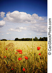 Cornfield with poppies - A cornfield with poppies on a...