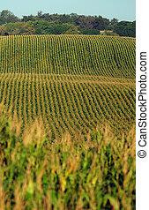 Rows of cornstalks on a farm