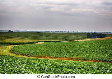 Cornfields - Fields of corn in Iowa