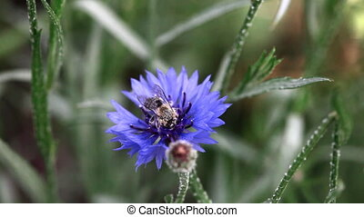 cornflower., пчела