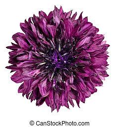 cornflower, 花, 紫色, 隔離された, 背景, 白