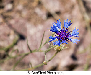 Cornflower Against Light Background with Copy Space