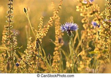 Cornflower at dusk - Cornflower in the field at dusk.