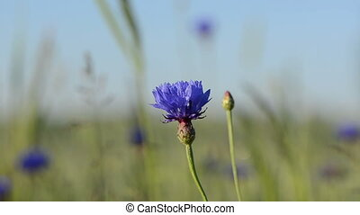 cornflower bloom move