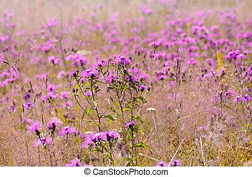 Cornflower (Centaurea jacea) flowers on meadow, selective...