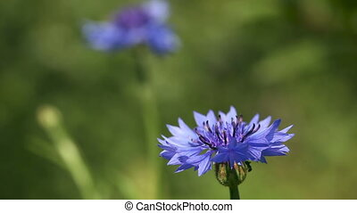Cornflower. - Cornflower on the summer meadow with an ant...