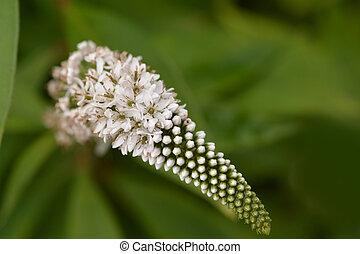 cornflower, fine