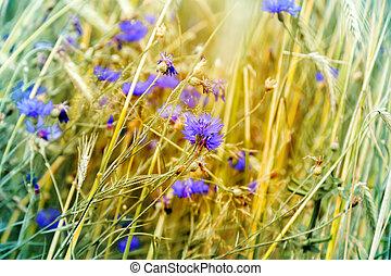 cornflower flower blooms and wheat ears