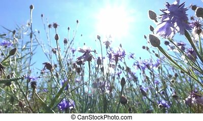 cornflower in a field